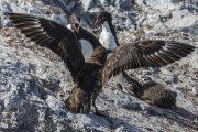 _m4_0339-antarktyda-pingwiny