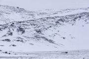 _M4_0668-psy-husky-zaprzeg-Grenlandia