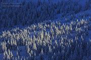 Karkonosze Szernica zachód drzewa / Zmrożone drzewa