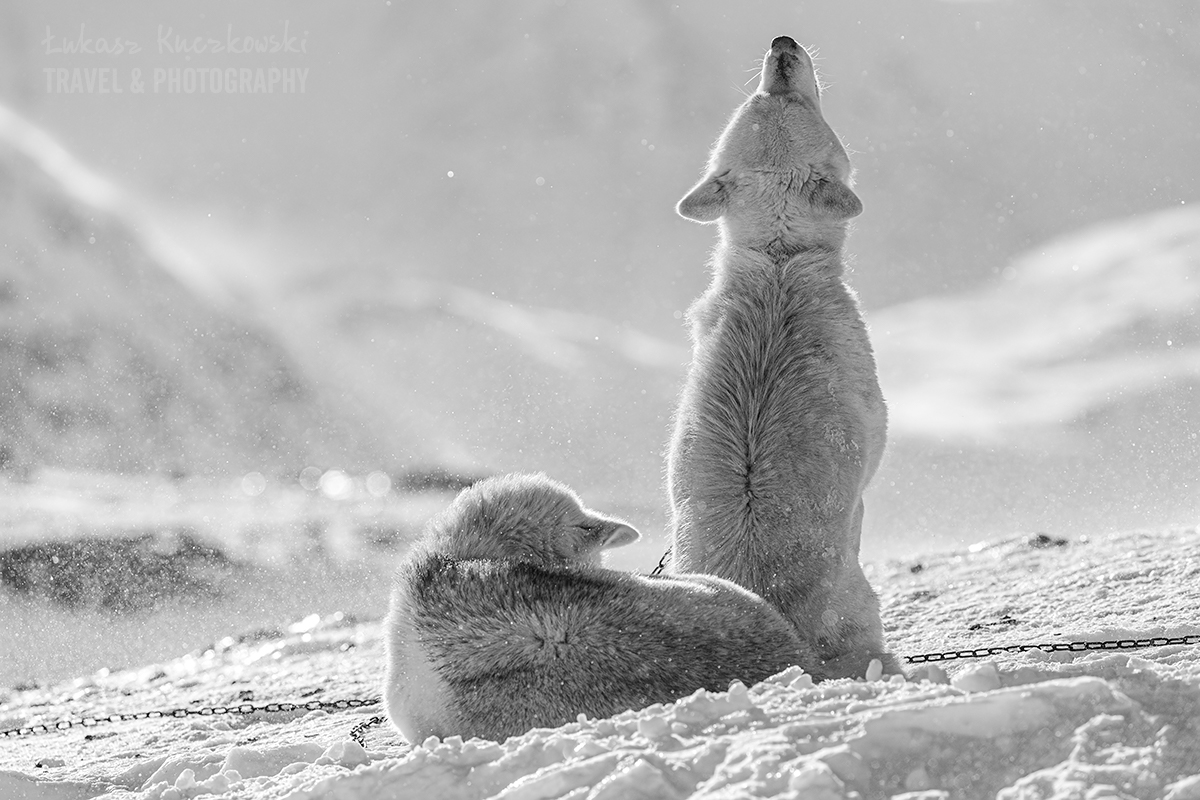 psy-grenlandzkie-Grenlandia-zaprzegi