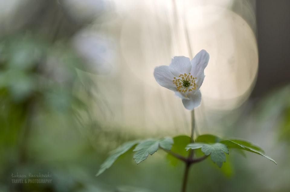 zawilce wiosna kwiaty